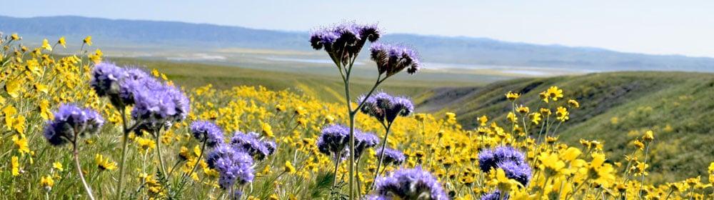 Carrizo-Plains-Wildflower-Superbloom